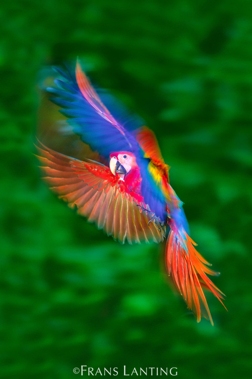 Scarlet macaw juvenile hovering, Ara macao, Tambopata National Reserve, Peru