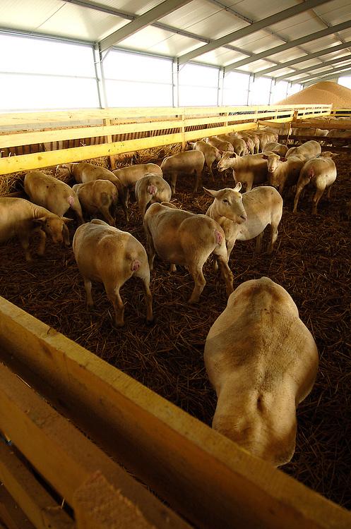 01/10/04 - MARSANNAY LE BOIS - FRANCE - Systeme mixte elevage ovins et cultures cerealieres - Photo Jerome CHABANNE