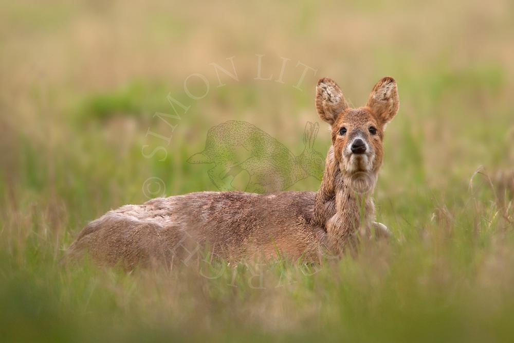 Chinese Water Deer (Hydropotes inermis) adult male, introduced species, adult sitting in field margin during moult, Norfolk Broads N.P., UK.