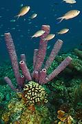 Stove-pipe Sponge (Aplysina archeri)<br /> BONAIRE, Netherlands Antilles, Caribbean<br /> HABITAT &amp; DISTRIBUTION: Deeper reefs and walls<br /> Caribbean &amp; Baharmas