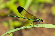 Sparkling Jewelwing (Calopteryx dimidiata) - male<br /> TEXAS: Jasper Co.<br /> Indian Creek off Hwy 63<br /> 4-Apr-2012<br /> J.C. Abbott #2572 &amp; K.K. Abbott
