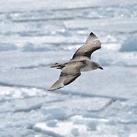 A Skua flies over McMurdo Sound, Antarctica.