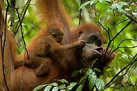 Adult female Walimah with one month old infant.<br />Feeding on Fordia flowers.  Baby pulling at mom's face.<br /><br />Bornean Orangutan <br />Wurmbii Sub-species<br />(Pongo pygmaeus wurmbii)<br /><br />Gunung Palung Orangutan Project<br />Cabang Panti Research Station<br />Gunung Palung National Park<br />West Kalimantan Province<br />Island of Borneo<br />Indonesia