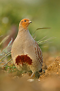 Grey Partridge (Perdix perdix) adult, standing, Norfolk, UK.