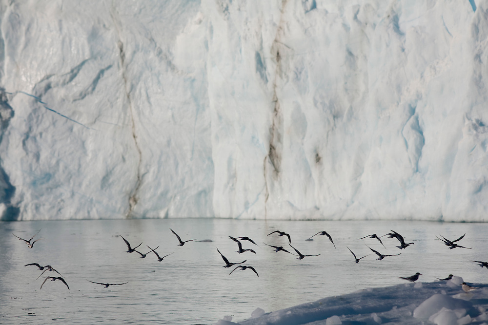 Antarctica, South Georgia Island (UK), Antarctic Tern (Sterna vittata) fly above icebergs calved from Nordenskjold Glacier in Cumberland East Bay in late summer