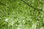 Roof of young beech leaves are a delicate lime green colour above the Cotswold Way