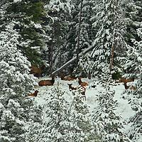 Elk <br /> Snowy Scene<br /> Wyoming
