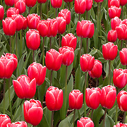 Red tulips bloom together in a tight cluster at Roozengaarde, one of the largest tulip gardens in the Skagit Valley of Washington state. It is part of 300 acres of tulip fields near the city of Mount Vernon. A million people attend the annual tulip festival there.