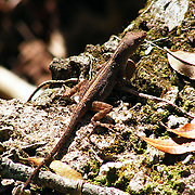 Gecko on the rocks getting some sun