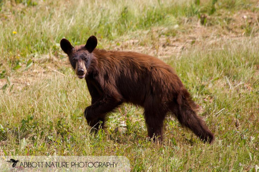 American black bear (Ursus americanus) - young<br /> CANADA: British Columbia (Stikine Region)<br /> along Alaska Highway<br /> 18-July-2012<br /> J.C. Abbott &amp; K.K. Abbott