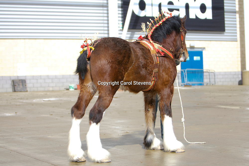 Mr O C Whittaker &amp; Sons'  Bay Stallion  Knutsford O C  f 2010<br />