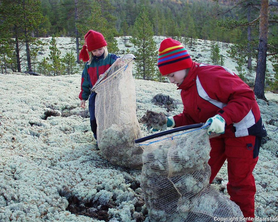 Southsami reindeer herding in Mid-Norway. Reindriften i Nord-Trøndelag må plukke store mengder reinlav i Folldal, Østerdalen for nedforing av rein.