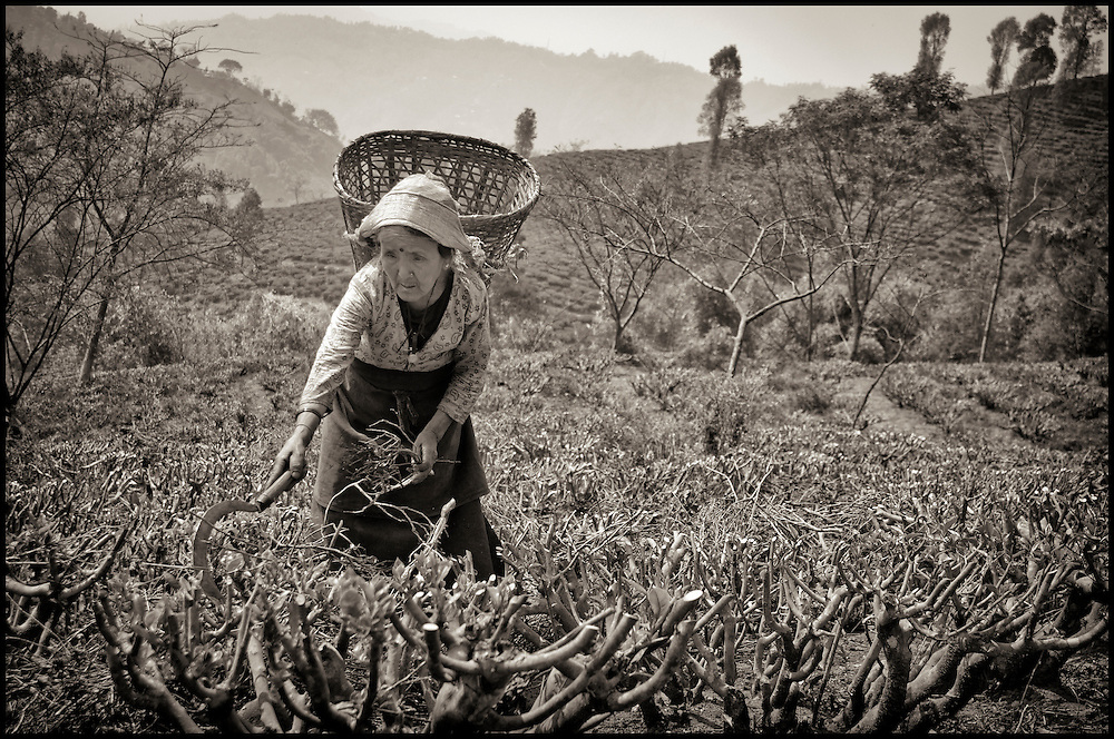 Tea plantation woman clearing brush. After the tea harvest, with only a small tool in hand, the women clear away dead leaves and brush.