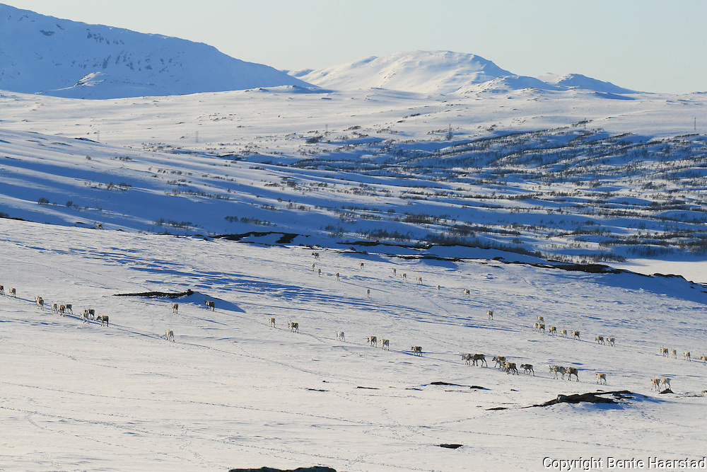 Vårflytting i Essand reinbeitedistrikt. Simleflokken passerer Øyfjellet i Tydal, på veg nordover mot kalvingsområdet og sommerbeitet i Roltdalen, Skarvene, Skarpdalen og Meråker.