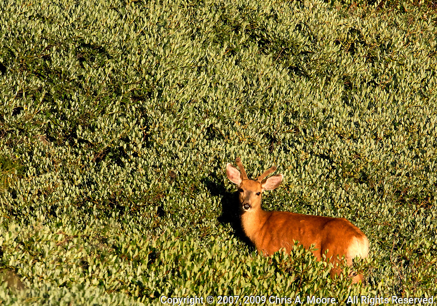 A spike mule deer in a large patch of mountain willow at Mount Goliath, Colorado.