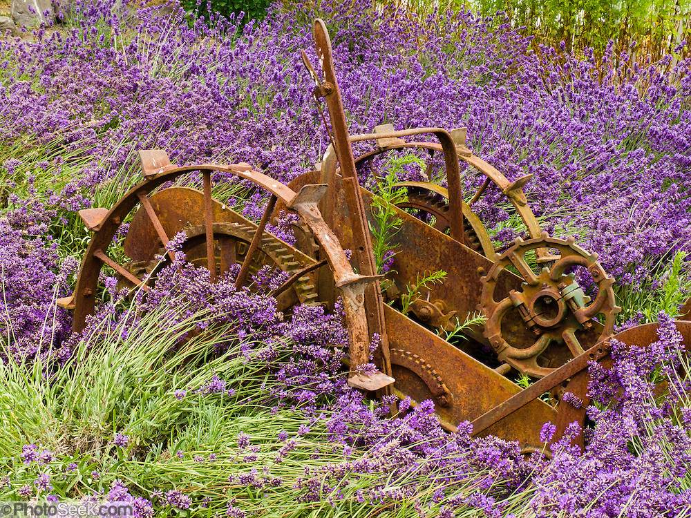 Old farm equipment, wheels and gears rest in a field of lavender at Cedarbrook Lavender and Herb Farm, at the Sequim Lavender Festival held mid July on the Olympic Peninsula in Washington, USA. Lavender is a flowering plant in the mint family (Lamiaceae).