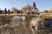 Lion darted for relocation to Malawi (Panthera leo)<br /> Pilansberg Game Reserve<br /> North West Province<br /> SOUTH AFRICA
