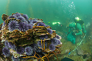 LA Waterkeeper diver works at removing sea urchins from an urchin barren off Palos Verdes, CA.