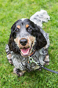 Local dogs in London - this is Archie the blue roan and tan cocker spaniel
