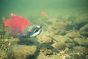 Alaska. Red (sockeye) salmon (Onchorynchus nerka) turns red and dies right after spawning.