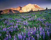 Mount Rainier 14,411¬?ft (4,392¬?m) from wildflower meadows of Yakima Park, Mount Rainier National Park Washington USA