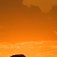 Acacia Tree Silhouette and Sunset in Masari Mara, Kenya