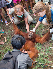 AUG 28 2013 Ael the 4 year-old Orangutang