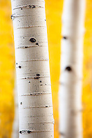 Aspen trees in fall color near Crested Butte, Colorado.