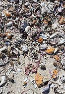 Shells in Cayos Ana Maria, Ciego de Avila, Cuba.