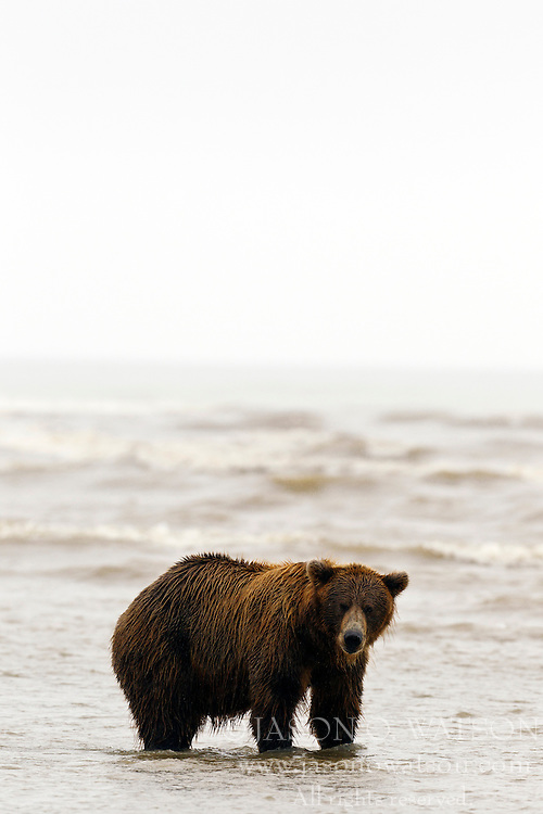 North American brown bear / coastal grizzly bear, (Ursus arctos horribilis) sow looking for salmon at the mouth of the Silver Salmon Creek along the Cook Inlet, Lake Clark National Park, Alaska, United States of America
