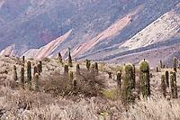 CARDONES (Trichocereus sp.) Y CERRO PALETA DEL PINTOR, QUEBRADA DE HUMAHUACA, PROV. DE JUJUY, ARGENTINA