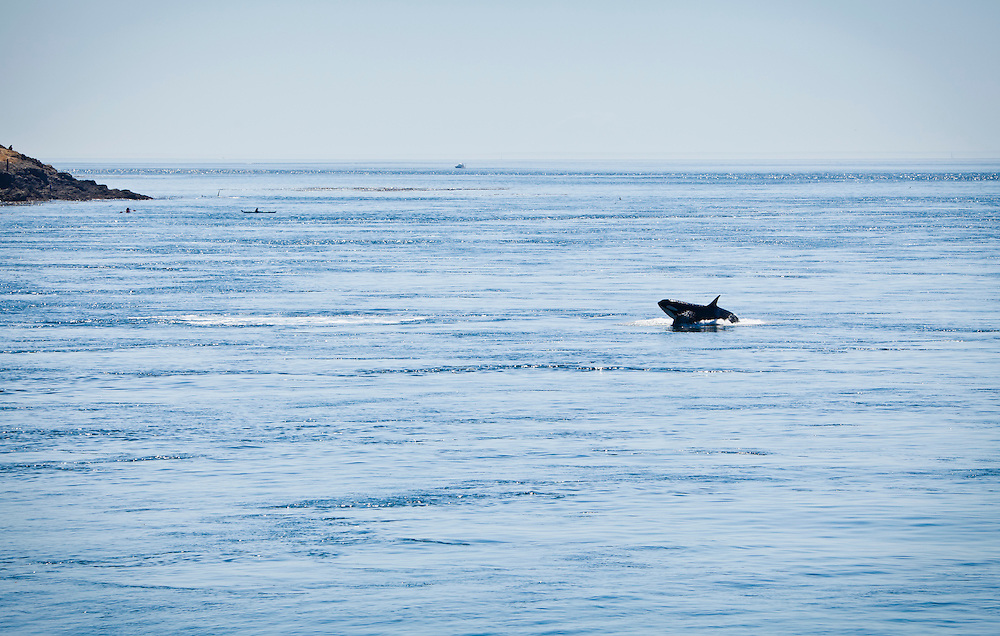 A killer whale breaching in the waters  of Haro Strait just off Lime Kiln Point on San Juan Island, Washington, USA.