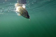 Largemouth Bass eating a small fish<br /> <br /> Paul Vecsei/ENGBRETSON UNDERWATER PHOTO