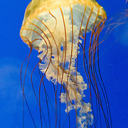 "Pacific sea nettle, or Ortiga de mar (Chrysaora fuscescens), Oregon Coast Aquarium, Newport, Oregon, USA. Although commonly named ""jellyfish,"" jellies are plankton, not fish. Jellies (class Scyphozoa) lack the backbone (vertebral column) found in fish. Jellies have roamed the seas for at least 500 million years, making them the oldest multi-organ animal. A sea nettle hunts by trailing long tentacles covered with stinging cells to paralyze tiny plankton and other prey. Stung prey is moved to the frilly mouth-arms and on to the jelly's mouth. Published in ""Light Travel: Photography on the Go"" book by Tom Dempsey 2009, 2010."