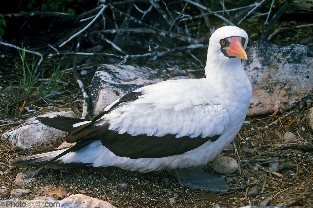A Nazca Booby guards its egg in a bare ground nest, on the Galápagos Islands, Ecuador, South America. The Nazca Booby (which has an orange beak) was formerly regarded as a subspecies of the Masked Booby (which has a yellow beak) but is now recognized as a separate species. Nazca and Masked Booby species differ in size, nesting habits, and mtDNA cytochrome b sequence data.