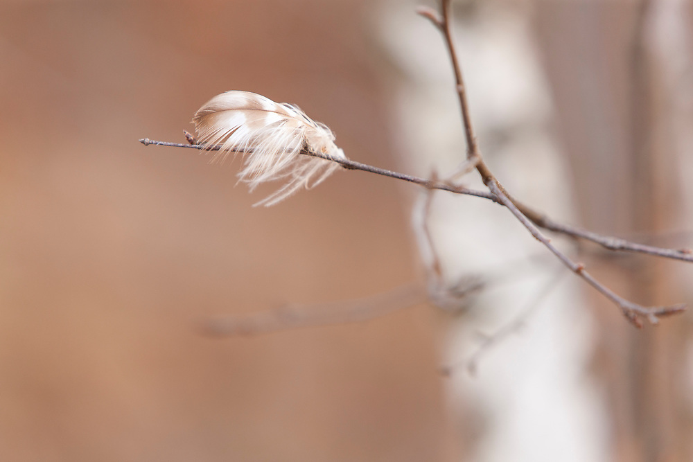 A Ruffed Grouse left a graceful calling card dancing on the breeze, anchored to the birch twigs it zipped through.