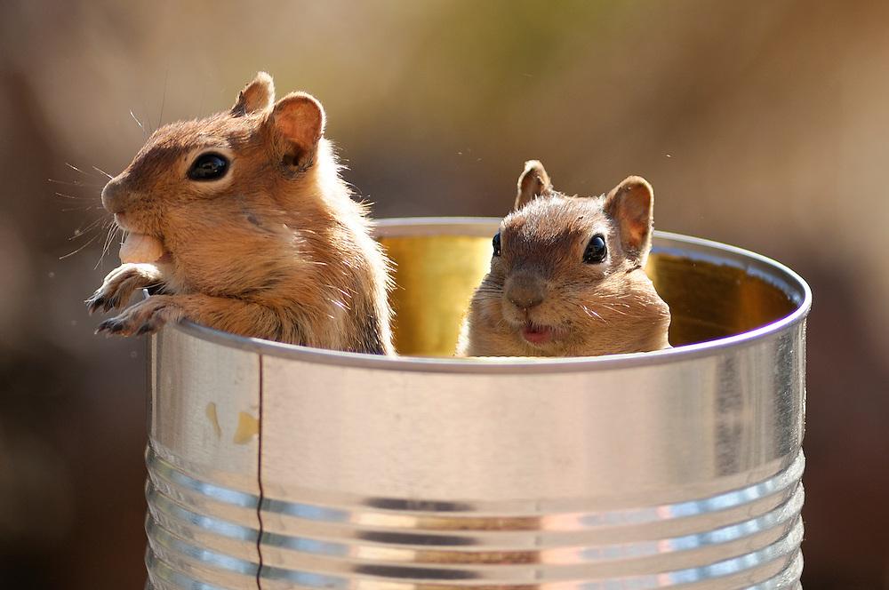 Golden Mantled Ground Squirrel.Spermophilus lateralis.High Desert, Oregon,USA,..