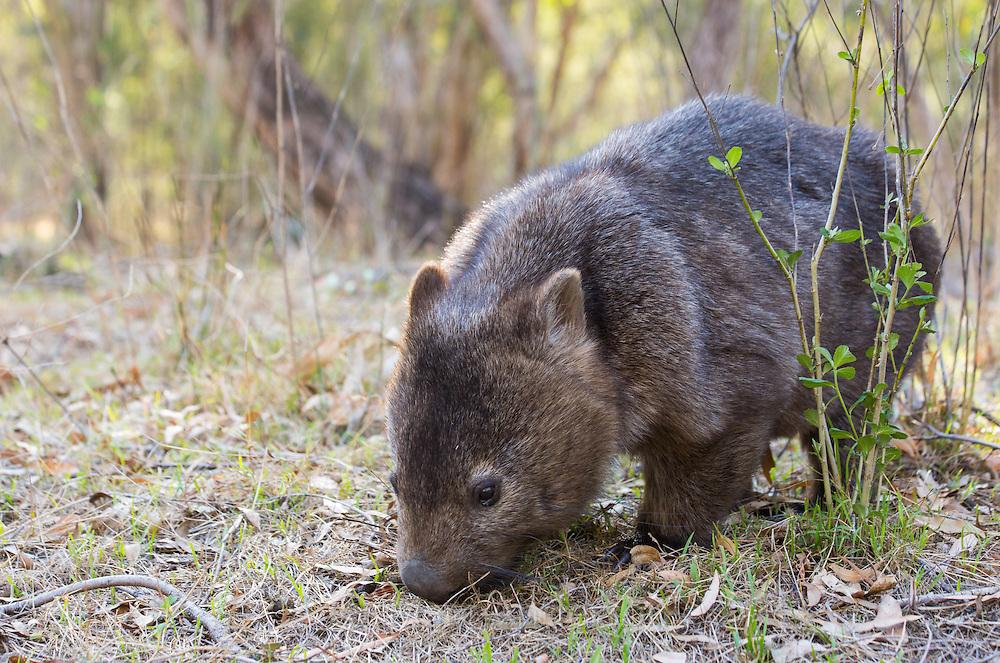 Common Wombat, Vombatus ursinus, Wollemi National Park, NSW, Australia