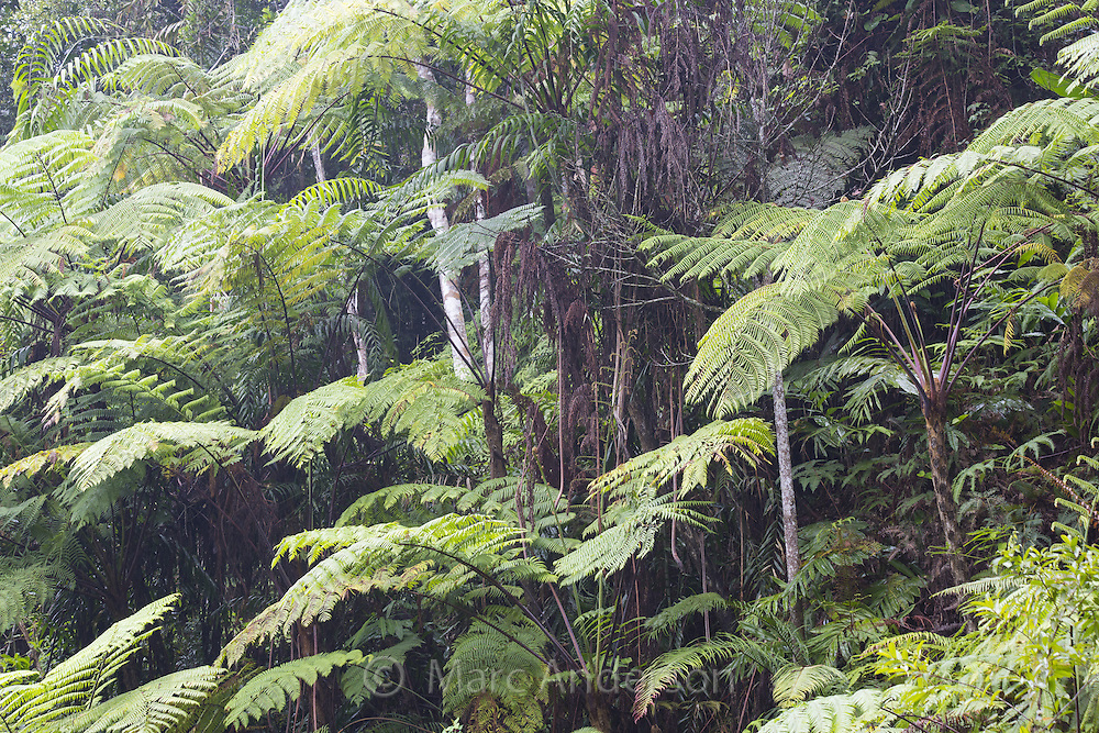 Tree ferns growing in a rainforest, Fraser's Hill, Malaysia
