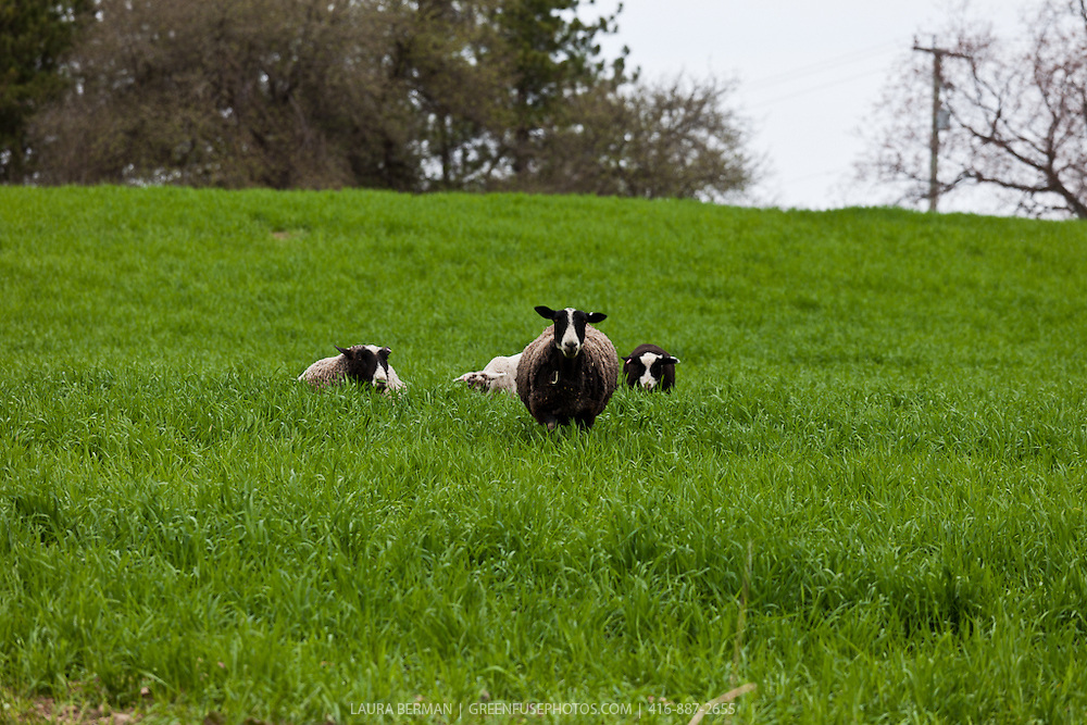 Two black and white mother sheep ( ewes) in a field of lush green sprign grass with their baby lambs.