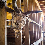 Cow skull in barn at Warren Ranch at Katy Prairie Conservancy; Katy; Texas