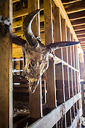 Cow skull in barn at Warren Ranch at Katy Prairie Conservancy; Katy; Texas