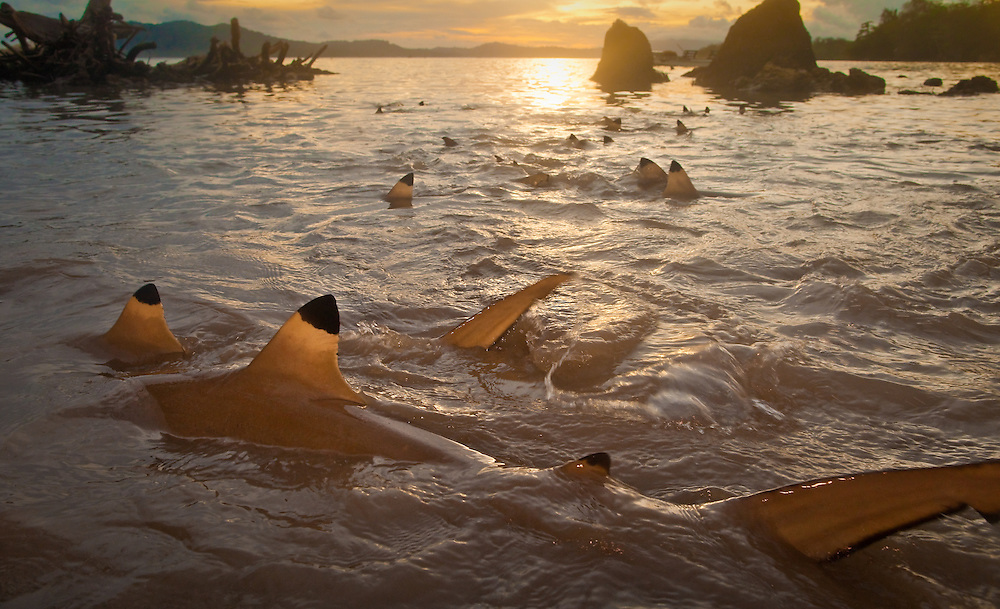 Black-tipped reef sharks at sunset off Tetapare