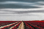 Person in a field of tulips - manipulated photograph<br /> REDBUBBLE products: http://www.redbubble.com/people/dyrkwyst/works/21445483-flower-horizon<br /> Society6 products:https://society6.com/product/flower-horizon-09y_print#1=45