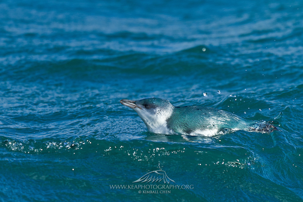 In between dives below the water surface to feed, a blue Penguin takes a break and floats at sea, off the coast of Stewart Island