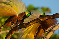 Greater Bird of Paradise (Paradisaea apoda). Adult male shaking his plumes as part of display..Badigaki Forest, Wokam Island in the Aru Islands, Indonesia.