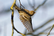 A pine siskin (Spinus pinus) takes off from an alder tree in the Washington Park Arboretum in Seattle, Washington. The pine siskin is a finch that is very nomadic, potentially wintering in different areas each year. It is found in open coniferous or mixed forests and feeds on buds and seeds of alders, birches, pines, hemlocks and other trees.