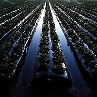 DOVER, FL -- January 6, 2010 -- Frozen rows of strawberry plants are seen sprinkler heads coat strawberry fields with ice at G & F Farms in Dover, Fla., on Wednesday, January 6, 2010.  The cold temperatures in Florida are lingering this week, often dipping into the 20's overnight, which has stalled the strawberry picking as farmers rush to save their crops.