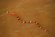 False coral snake swimming, Erythrolamprus aesculapii, Manu National Park, Peru