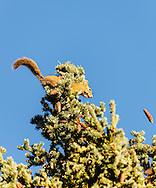 Red Ground Squirrel (Tamiasciurus hudsonicus) throwing spruce cones to cache in Denali National Park in Interior Alaska. Autumn. Morning.